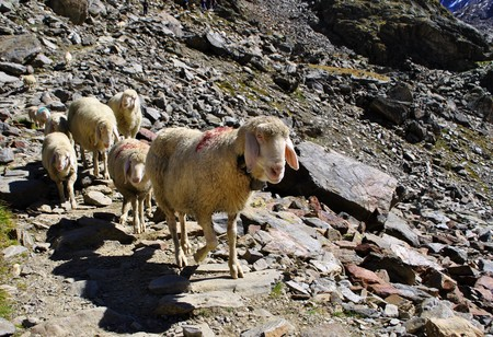 sheep in the mountains of the Dolomites in Val Senales Stock Photo - 7789398