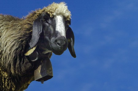 herbivore: sheep in the mountains of the Dolomites in Val Senales