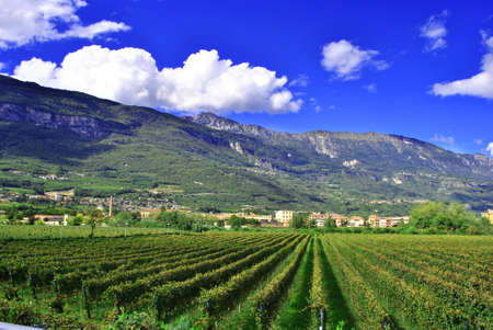 merlot: vineyard of Merlot grapes with view of city and mountains