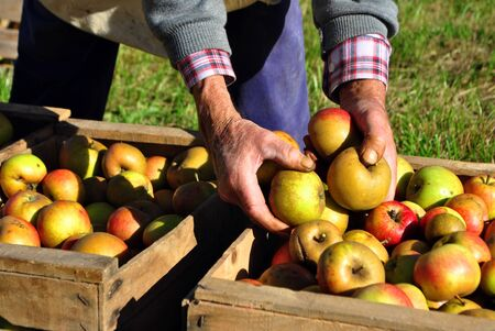 wooden ladder leaning against the tree for the apple harvest Stock Photo - 8136503
