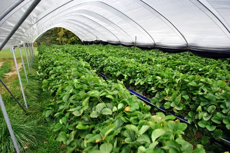 industrial greenhouse for growing strawberries Stock Photo