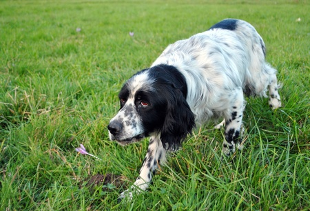 setter dog pointing in the meadow photo