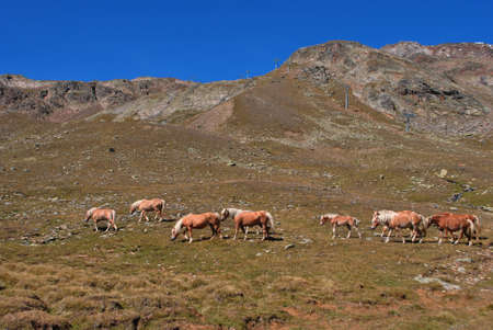 herd of horses in the mountains of the Dolomites photo