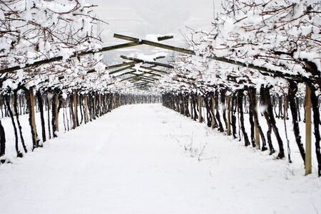 vineyards in the snow in winter