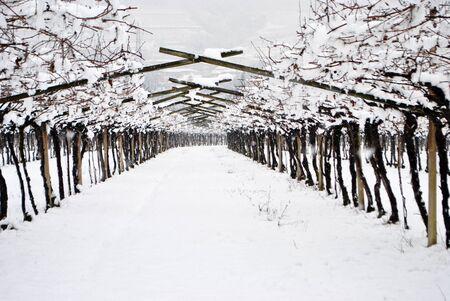 vineyards in the snow in winter