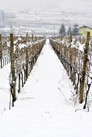 sauvignon blanc: vineyard in winter the snow-covered