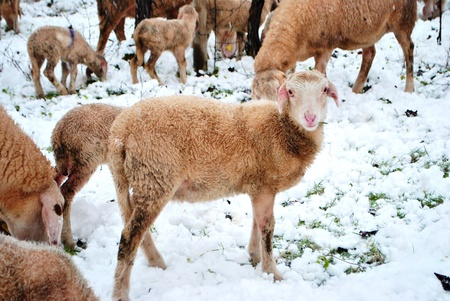 sheep in the countryside the snow-covered photo