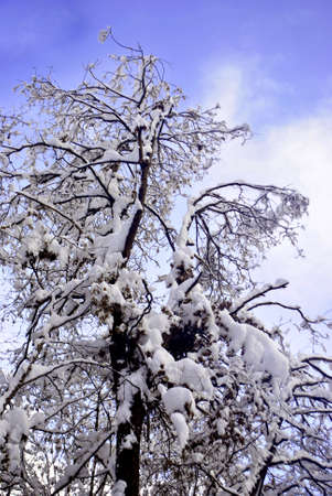 bluer: larch and pine trees in the snow in winter