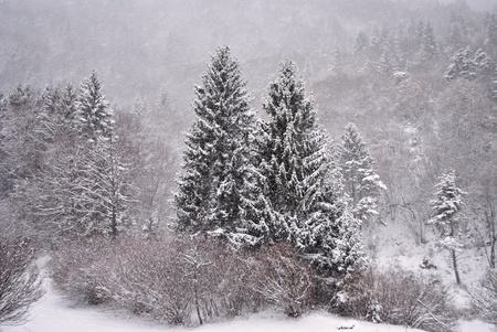 four peaks wilderness: larch and pine trees in winter with snow Stock Photo