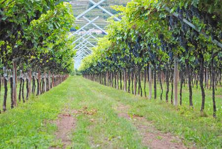 merlot: vineyard merlot wine in the Italian countryside