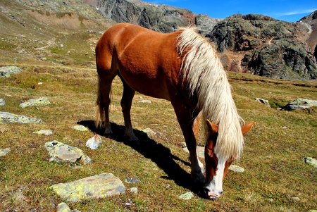 Haflinger horse in the mountain meadow photo