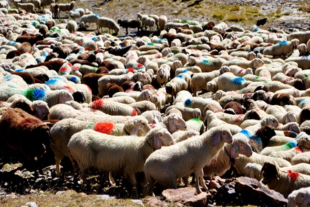 agri: sheep grazing on alpine mountains in Val Senales