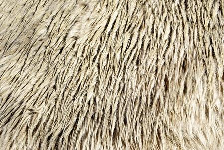 Haflinger horse hair and details photo