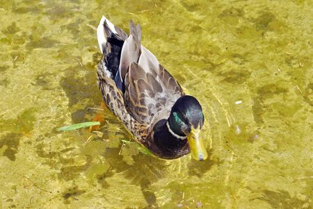 migrate: duck pond swimming Stock Photo
