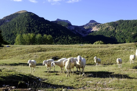 sheep grazing in the mountains of the Alps Stock Photo - 9017004