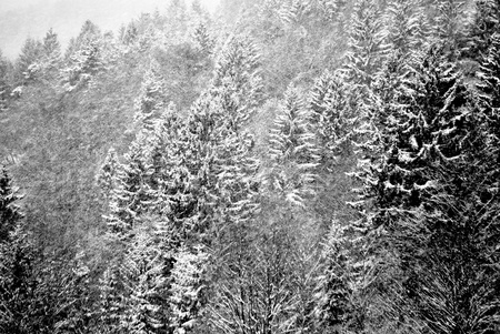 snows: snows in the enchanted forest of larch and pine