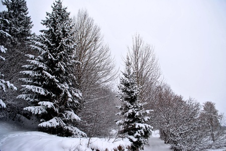 snows in the enchanted forest of larch and pine