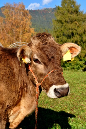 tirolese cow resting on green grass Stock Photo - 9333278