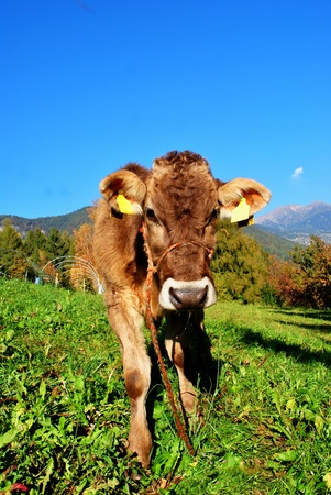 closeup cow face: tirolese cow resting on green grass Stock Photo