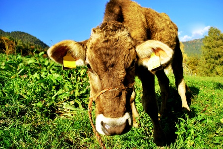 tirolese cow resting on green grass Stock Photo - 9486934