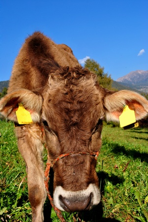 tirolese cow resting on green grass Stock Photo - 9536593
