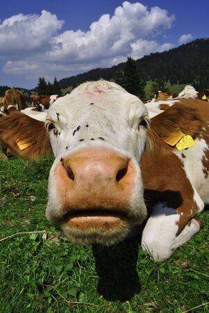 Brown white cows on a farmland Stock Photo - 10572648