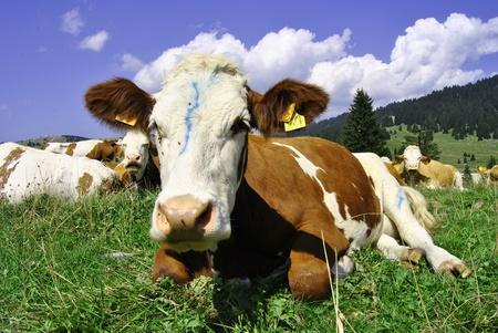 Brown white cows on a farmland  photo