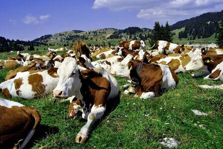 Brown white cows on a farmland Stock Photo - 10771296