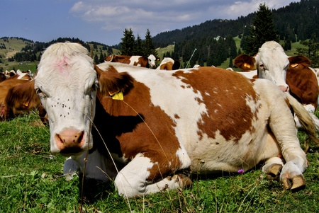 Brown white cows on a farmland  Stock Photo - 11160599