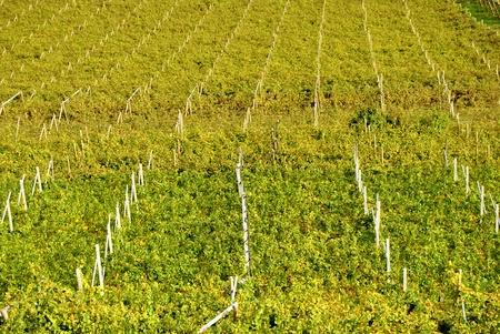 barossa: Rows of vines in Trentino, Italy