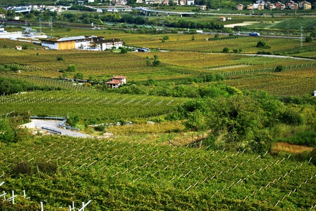 Rows of vines in Trentino, Italy photo