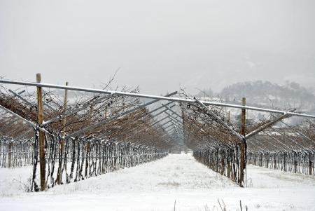 sauvignon blanc: Winter vineyard in Trentino, Italy