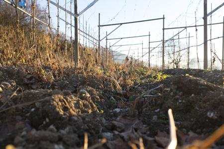 grape vines: Rows of wine grape vines in Winter time, Trentino, Italy