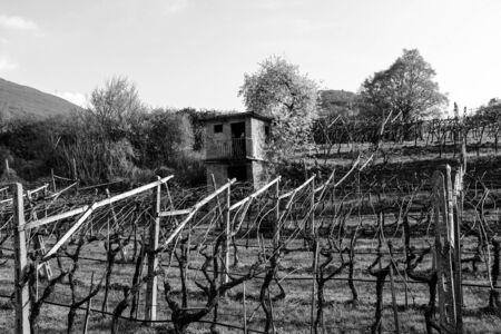wine growing: Vineyard in the wine growing region of Trentino, Italy. Stock Photo