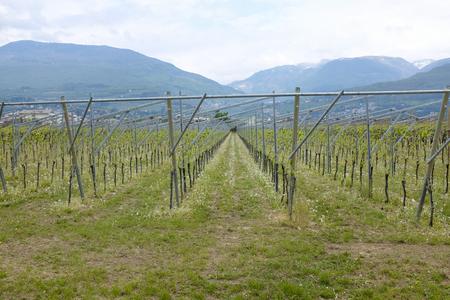 israel farming: green vineyard and blue sky