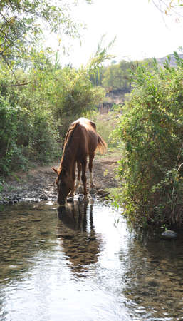 crick: Female horse drinking from one of jordan river cricks