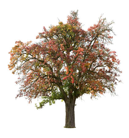 Apple tree isolated on white in autumn Stock Photo - 3810857