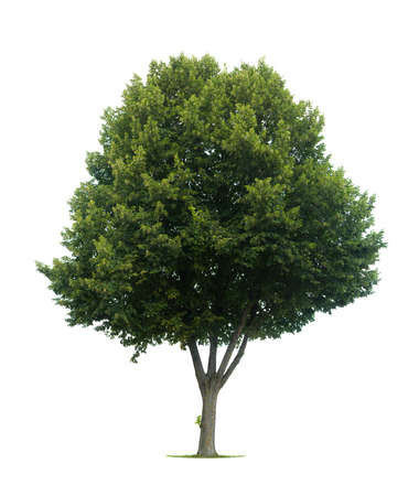 This Isolated Lime Tree Should Be A T Lia Cord Ta Or Tilia Stock Photo Picture And Royalty Free Image 3810843