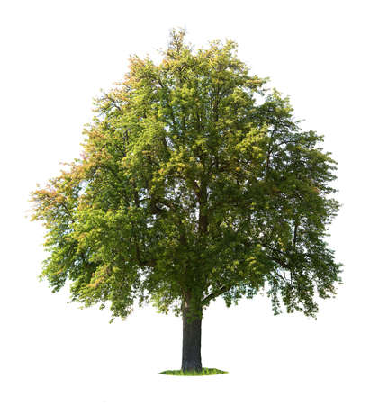 solitary tree: Pear tree (Pyrus communis) isolated on white
