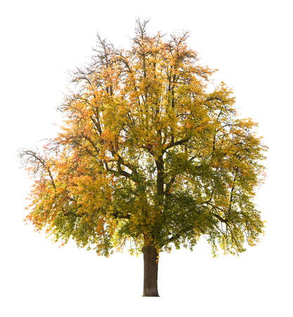 Isolated pear tree in Autumn, early October