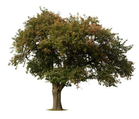 leafy trees: �rbol de Apple a principios de oto�o aislados contra blancos Foto de archivo