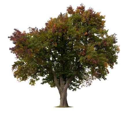 leafy trees: Apple �rbol aislado a principios de oto�o