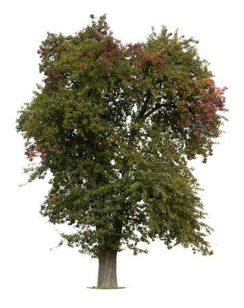 pommier arbre: Pommier en d�but de l'automne isol� contre blanc Banque d'images