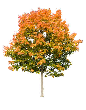 Autumn maple tree isolated on white Stock Photo