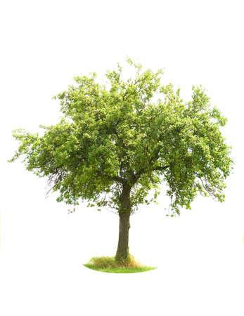 apfelbaum: Apple Tree isoliert auf wei�em