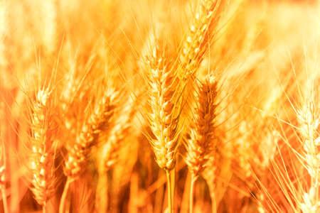 Golden glowing wheat field in Germany