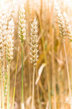 Corn field in Germany