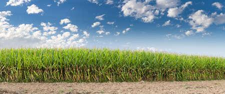 XXL Field of corn panorma Stock Photo