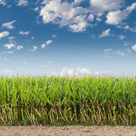 Cornfield against a blue sky Stock Photo - 3876889
