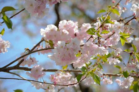 A beautiful cherry blossom magic